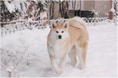 Собака акита-ину на снегу.