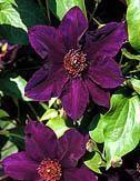 Clematis Burma Star