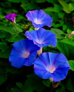 tatt ideas Sept: Morning Glories