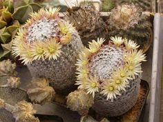 """Cactus. (""""Mammillaria duwei."""")"""