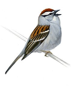 Back to the Table of Contents The simple trilled songs of species like Chipping Sparrow and Dark-eyed Junco offer some of the most difficult, and most common, identification challenges in bird song. There is simply very little information that we can glean from the songs to help us identify the singer. Each species sings a …