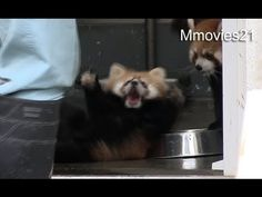 Someone surprised this baby red panda | The 40 Cutest Things That Happened This Year