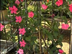 Alice Dupont mandevilla: On this edition of Get It growing, we look at a climbing vine that displays a wonderful profusion of large, colorful flowers. It's the Alice Dupont mandevilla, and it blooms abundantly during the summer. LSU AgCenter horticulturist Dan Gill offers some tips on growing this graceful, colorful trellis vine.