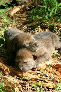 Red wolf pups More
