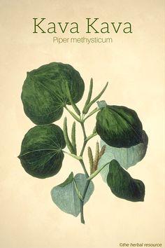 The Herb Kava (Piper methysticum)