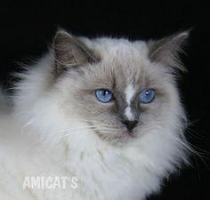 Ragdoll Amicat's - Canil Amichetti Gatil Amicats Filhotes Cães Gatos Gigantes