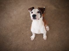 D A P S Shelter Dogs, Animal Shelter, Animal Protection, Dog Pictures, Boston Terrier, Pitbulls, Animals, Animal Shelters, Boston Terriers