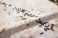 Carpenter ants and termites have a lot more in common than most people would think when it comes to pest control. Kitchen Ants, Ant Removal, Ants In House, Ant Problem, Get Rid Of Ants, Pest Solutions, Red Chili Powder, Garden Pests, Bagels