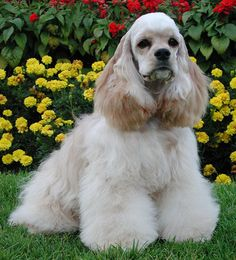 fully groomed cocker spaniel.  beautiful..