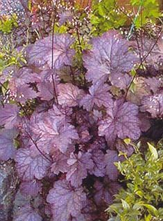Heuchera hybrid 'Plum Pudding' (Coral Bells) zone 3-9. Shiny leaves are very dark burgundy to plum purple, one of the darkest varieties available. A much improved variety over Palace Purple