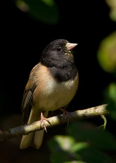 Oregon Junco - Junco Oreganus there You Happy Now!! The Real Birds Are Much Bigger And Fly Much, Much, Much Higher!! They Are Called Eagles!! Catch My Board On Them!!