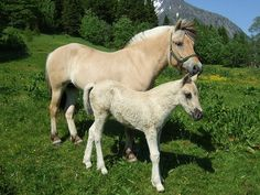 Norwegian Fjord Horse, one of the world's oldest breeds. Found in Viking graves. Fjord Horse, Horse Horse, Les Fjords, Classic Equine, National Animal, Horse Books, Icelandic Horse, Draft Horses, Horse Pictures