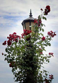 rose gardens revisited by manyfires, via Flickr