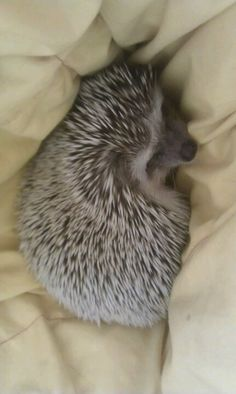 Hedgehog. Hedgehog.I seriously  want one of these.