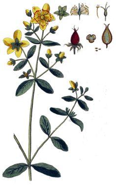 Sint Janskruid thee, Sintjanskruidthee, Sintjanskruid thee, geneeskracht van kruidenthee