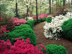 Boxwood & azaleas - awesome idea for the path between Mom's and our place