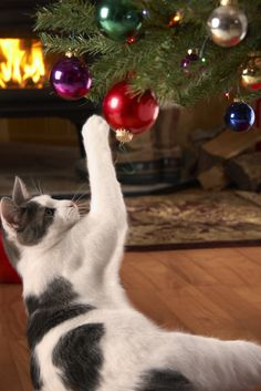 Tips to keep your cat off the Christmas Tree: You've just picked out a sturdy Balsam Fir that will look magnificent in the living room. Now put yourself in the frame of mind of your cat, who's having a quiet evening at home when all of a sudden an eight-foot tree makes its way through the front door. http://www.cathealth.com/how-and-why/how-to-keep-your-cat-off-the-christmas-tree #cathealth #christmastreesandcats #cats