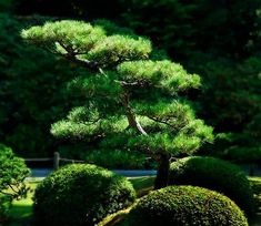 What are the typical Japanese garden plants? How to create a beautiful balanced landscape which makes us feel tranquility and peace of mind? Japanese Garden Plants, Japan Garden, Japanese Garden Design, Vegetable Garden Design, Japanese Gardens, Topiary Garden, Bonsai Garden, Garden Trees, Cloud Pruning