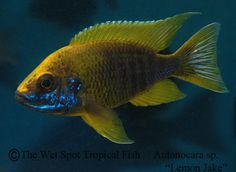Aulonocara jacobfreibergi Lemon Jake Peacock Cichlid Aulonocara sp. Lemon Jake
