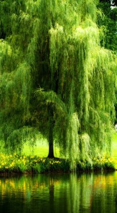 Trendy weeping willow tree photography nature water Ideas Trendy weeping w Weeping Willow, Willow Tree, Weeping Trees, Nature Water, Nature Tree, Flowers Nature, Tree Photography, Tree Forest, Forest Art