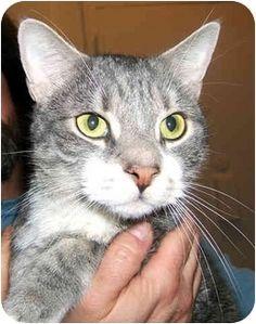 New York, NY - American Shorthair. Meet Helios the Love God a Cat for Adoption.