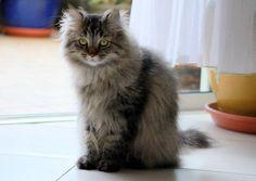 Cat - Siberian - Tigrou on www.yummypets.com