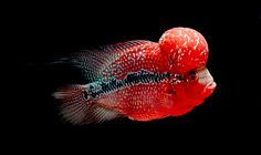 Flowerhorn Cichlid by Norman Celis on 500px