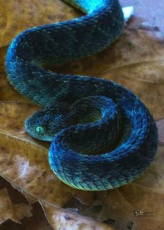 Green bush viper Pretty Snakes, Cool Snakes, Colorful Snakes, Beautiful Snakes, Les Reptiles, Cute Reptiles, Reptiles And Amphibians, Nature Animals, Animals And Pets