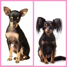 Russian Toy Terrier Mini Pinscher, Russian Toy Terrier, Dogs And Puppies, Doggies, Terrier Dogs, Maltese, Dog Toys, Pets, Happiness