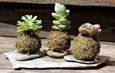 Unique Hanging Kokedama Ball Ideas for Hanging Garden Plants selber machen ball Ikebana, Air Plants, Garden Plants, String Garden, Concept Art World, Cactus Y Suculentas, Arte Floral, Plant Care, Orchids