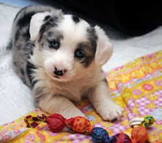 Nugget's very handsome son, Boo. Cardigan Welsh Corgi Puppies, Pembroke Welsh Corgi, Corgi Pups, Blue Merle Corgi, Cute Puppies, Dogs And Puppies, Baby Animals, Cute Animals, Corgi Pictures