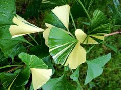 Ginkgo biloba 'White Lightning' Leaf Flowers, White Flowers, Maidenhair Tree, White Trees, Variegated Plants, Foliage Plants, Exotic Plants, Trees And Shrubs, Garden Landscaping