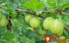 Amla, or the Indian gooseberry, it offers several to your hair and scalp. Keep reading this post to know how to use amla for hair growth & its side effects. How To Grow Gooseberries, Gooseberry Plant, Tienda Natural, Herbs For Hair, Edible Wild Plants, Fruit Trees, Fruit Plants, Herbal Medicine, Gardens