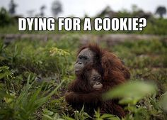 orangutan quotes - Google Search