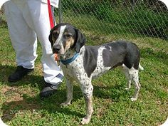 Rome, GA. URGENT. 13D-0784 (4/9) is a Med. [26-60 lbs], adult, male, Hound (Unknown Type) Mix. ID#: 13D-0784. Available for adoption on 4/09 & for rescue on 04/10. Picked up as a stray. Floyd County Animal Control Department:--> Contact Jason Broome at (706) 236-4537 or email  broomej@floydcountyga.org