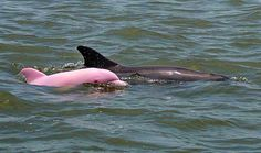 Pink River Dolphin | Pinky. the schockingly pink albino dolphin calf