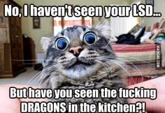 No, I have not seen your LSD - But have you seen the fucking DRAGONS in the kitchen?! #kitten #meme