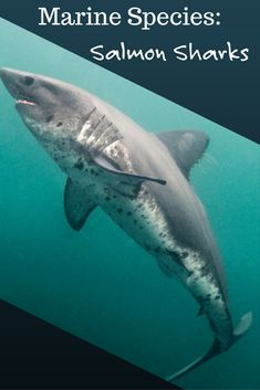 Although it's got a stable conservation status, few divers have ever seen the elusive salmon shark.