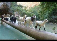 Tek sıra keçiler