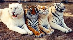 The Many Colors of Bengals, Oh... four color beautiful tigers! White Tigers,  Classic Tigers,  Melanistic tigers or black tigers,  Albino tigers,  Maltese Tigers