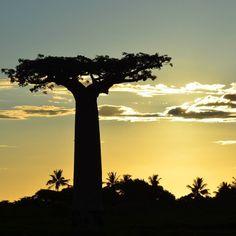Mi última publicación de 2015... desde la avenida de los Baobabs Madagascar y desde aquí os deseo un Feliz año 2016!!!!!