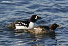 Barrow´s Goldeneye, Bucephala islandica.   Where to find birds in Iceland / Birding Iceland