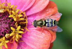 The World's Most Colorful Winged Creatures ~American Hover Fly