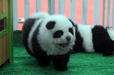 Panda Dogs: Pet shops sell out as Chinese go crazy for the cuddly black and white canines