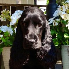 English Cocker Spaniel ~ Classic Cocker Look & Trim Blue Roan Cocker Spaniel, Cocker Spaniel Puppies, English Cocker Spaniel, Horses And Dogs, Dogs And Puppies, Doggies, Spaniel Breeds, Cockerspaniel, Cute Puppy Pictures