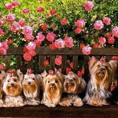 Yorkies are like Lay's potato chips... You CANT have just one!!! #yorkshireterrier
