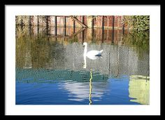 Reflective Swan Framed Print by Steve Swindells