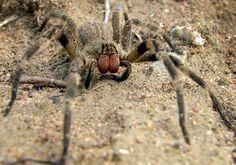 Haute Savoie : une araignée mortelle dans les bananes bio