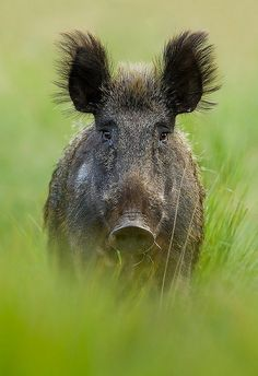 Sanglier or Wild Bore. In many parts of the world - Eurasia,etc. Beautiful Creatures, Animals Beautiful, Regard Animal, Funny Animals, Cute Animals, Photo Animaliere, Wild Boar, Tier Fotos, Mundo Animal