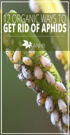 Organic Gardening Ideas How To Get Rid Of Aphids: 12 Organic Methods That Really Work - Aphids are some of the most destructive garden pests. Here are twelve natural and organic ways to get rid of them to enable your garden to flourish. Garden Insects, Garden Pests, Garden Compost, Garden Shrubs, Herb Gardening, Hydroponic Gardening, Aquaponics, Hydroponic Systems, Compost Tea